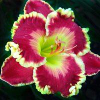 Лилейник Blindingly Beautiful