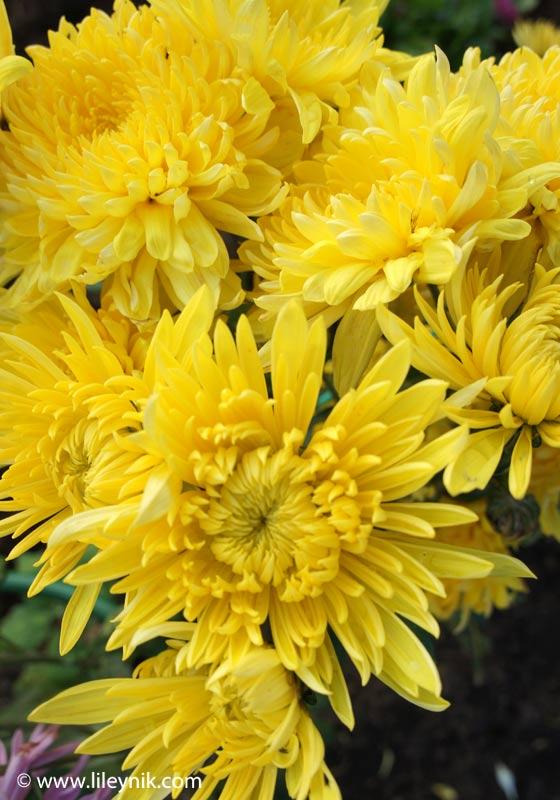 Хризантема Английская желтая