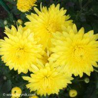 Хризантема Корейская Лимонная