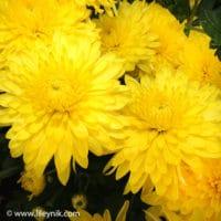 Хризантема Ellen Yellow