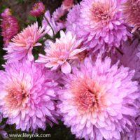 Хризантема Lavender Queen