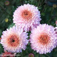 Хризантема Розовый Каприз