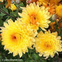 Хризантема Солнцецвет